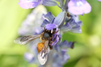 Lavendel mit Biene Insektenhotel