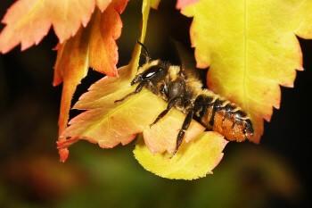 Gast im Insektenhotel Blattschneiderbiene
