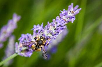 Wollbiene auf Lavendel